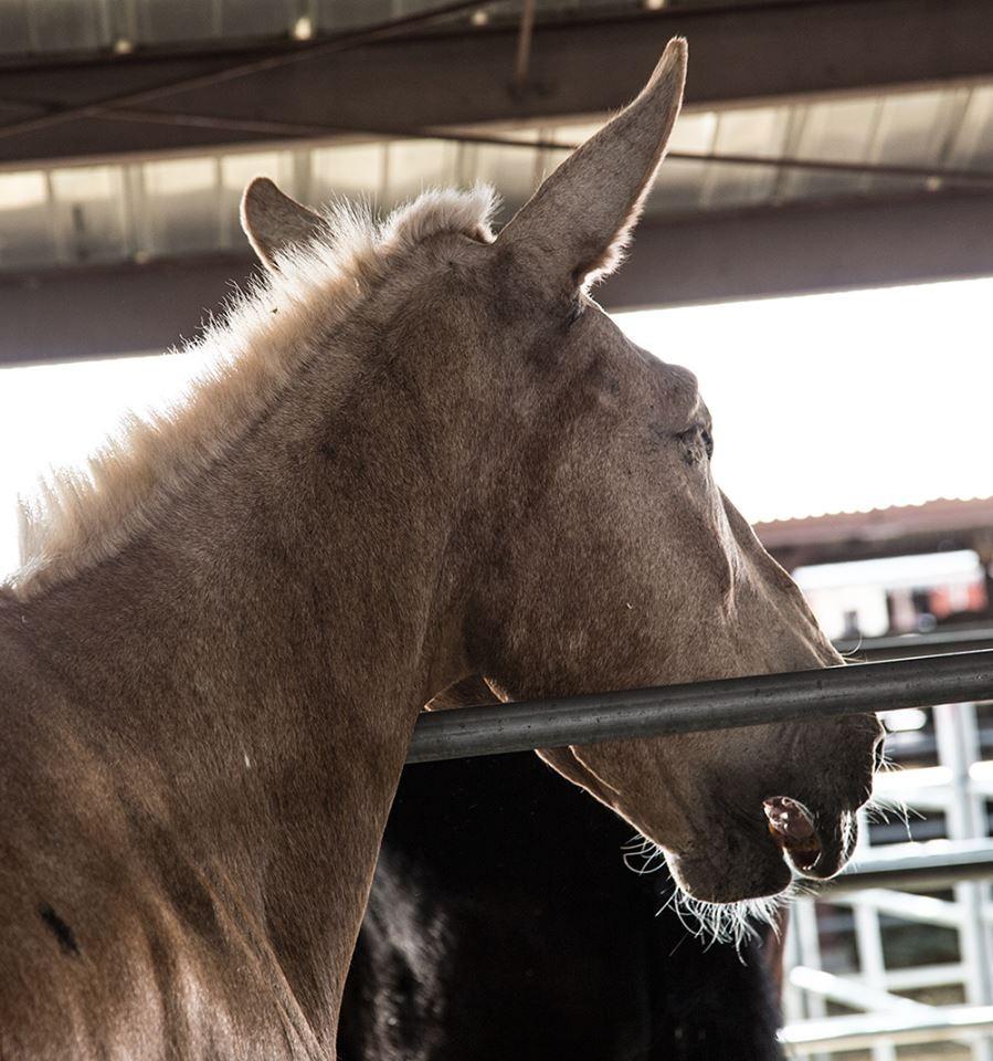 mule 2
