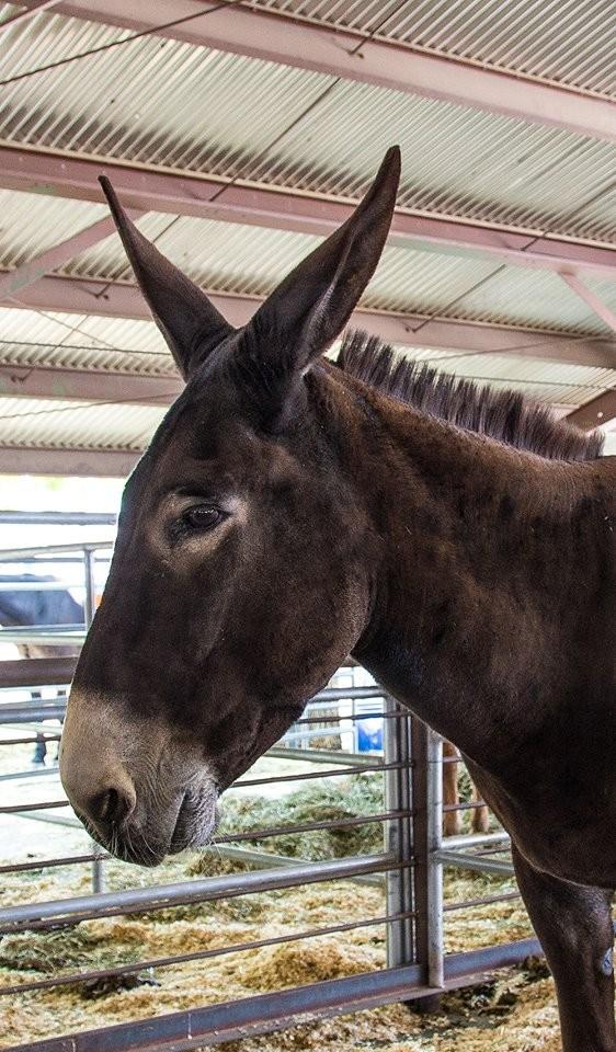 mule 5