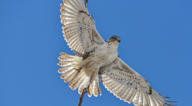 Ferruginous Hawk 1