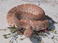 Snake, Rattle, and Roll: Rattle Season Is Here